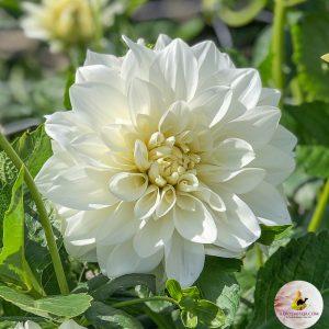 Dahlia White Perfection