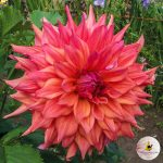 Ilovedahlia-gigante-Dahlia-Belle de Barmera