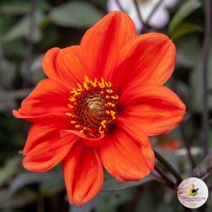 ilovedahlia - buy - dahlia